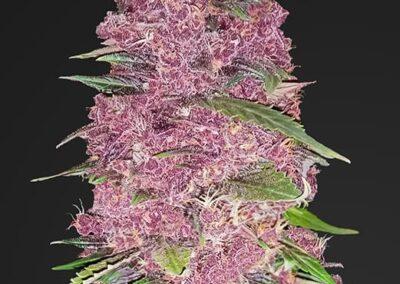 purple_lemonade