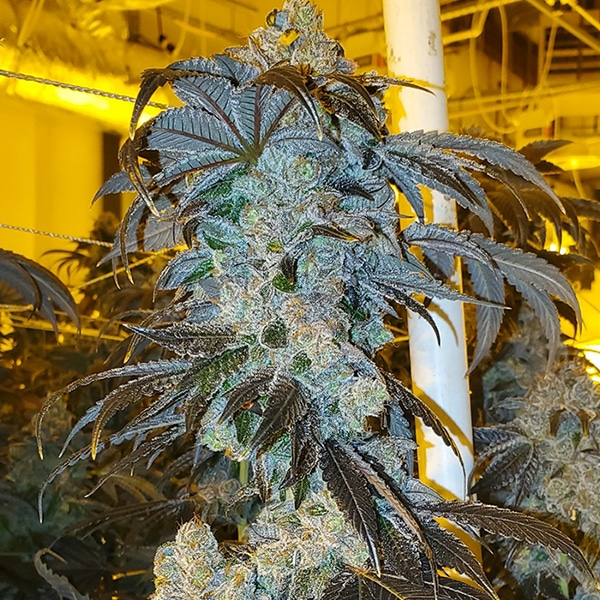 MVP – Most Valuable Purp